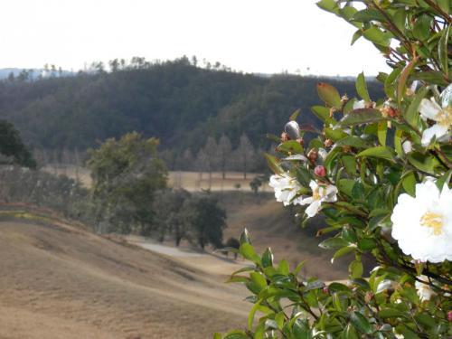 2013-2-6(白い山茶花の花)
