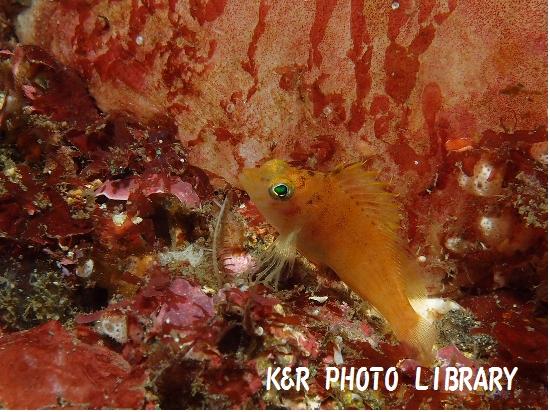11月17日オキゴンベの幼魚2