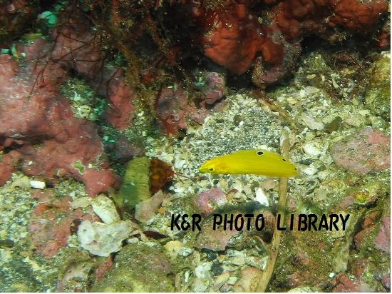 11月17日コガネキュウセンの幼魚