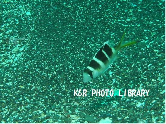 11月17日ヨコシマクロダイの幼魚