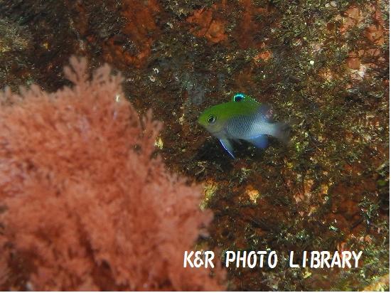 11月17日セダカスズメダイの幼魚