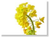 菜の花、かわいいね。