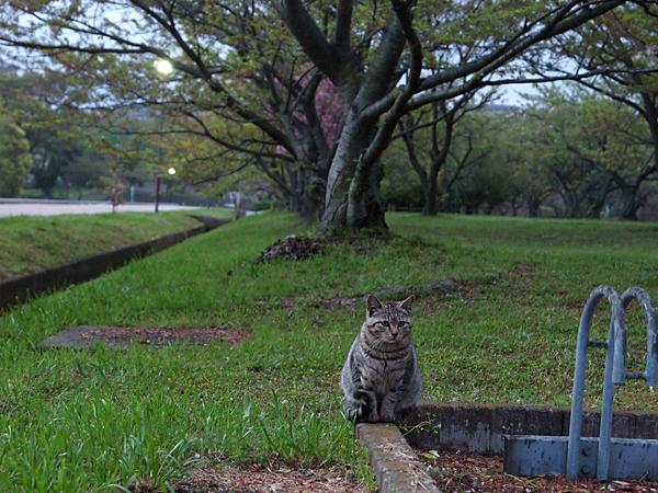 琵琶湖のキジトラさん