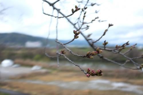 桜ロケ03