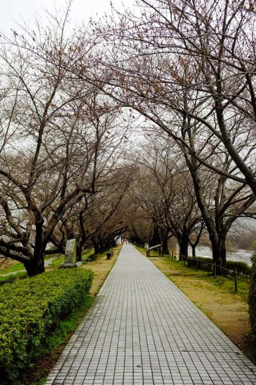 桜ロケ08