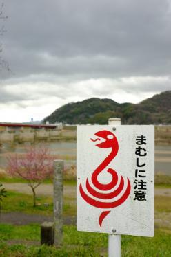 桜ロケ16