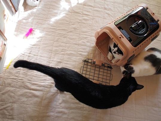 1キャリーに猫3ぴき!