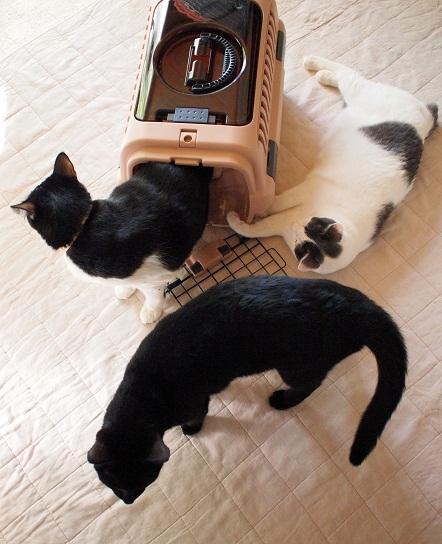 1キャリーに猫3ぴき