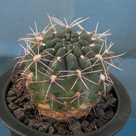 071006-Sany6136-gobbosum-v-albispinum-Rowland.jpg