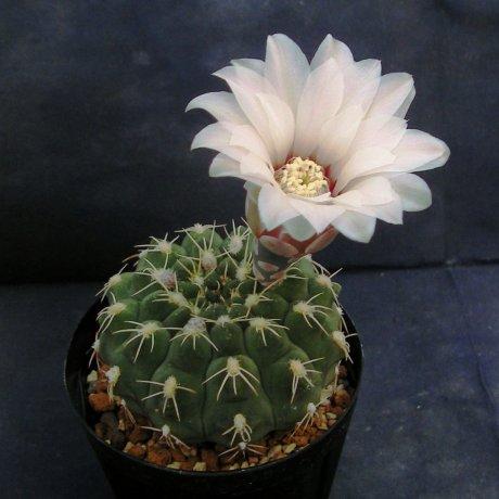 110525-Sany0060-G. quehlianum v. albispinum--Piltz seed 1476-no habitate data-Milena