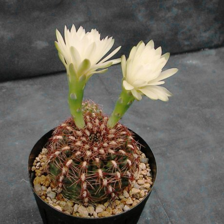 110509-Sany0133-G mesopotatamicum-P 241-Piltz seed