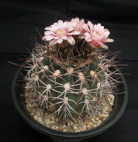110430-Sany0001-G. mazanense v. ferox--Winter seed-Kojima mishou