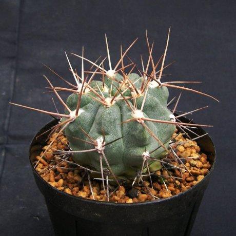 111030-Sany0197-G. kroenleinii-Piltz seed 3943