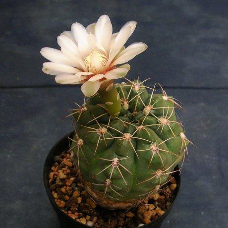 110604-Sany0171-G. oehmeanum-Piltz seed 2481