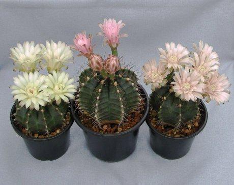 110612-Sany0076-G. friedrichii v. mendozaense-HU 312--Mendoza, Chaco, Paraguay--Piltz seed 2517