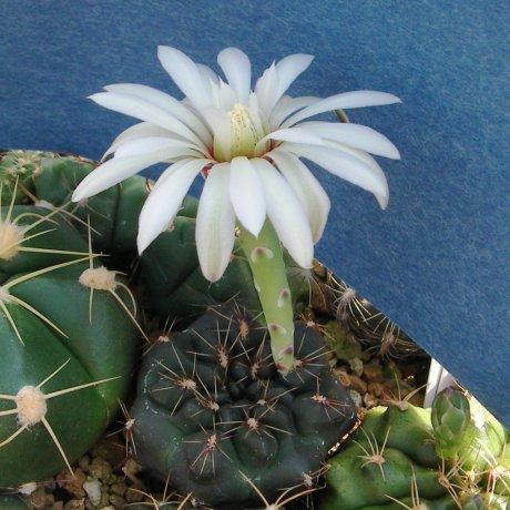 100603a-Sany0195-erolesii-LB 2308--south of Vera, Santa Fe--Bercht seed