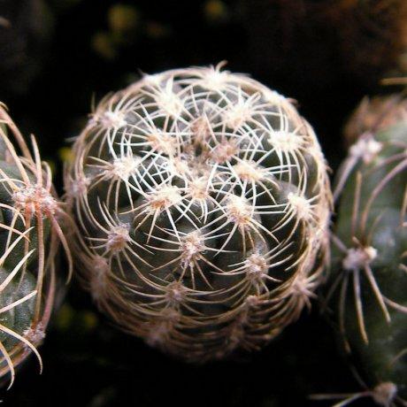 111211-Sany0060-bruchii ssp. lafaldense-LB 1091--eastern La Cumbre 1300m--Bercht seed