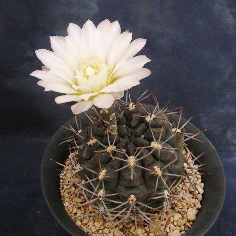 100509-Sany0146-gibbosum.v.nigrum-Lihuel Calel-Piltz.seed.0858-Houmeien