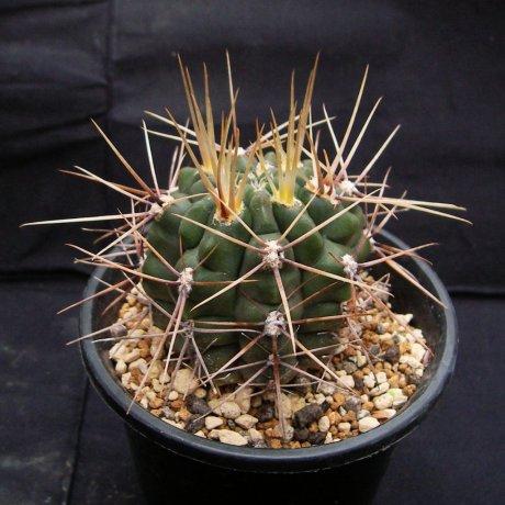 110418-Sany0035-G. gibbosum v. leucacanthum-Mesa seed 467.3-Milena