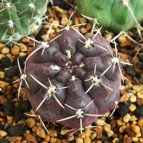 110828-Sany0071-G. gibbosum v. chubutense--JPR  040-0093--Peninsula Valdes, Salinas Grande, Chubut, Argentina 0m---Eden 16140