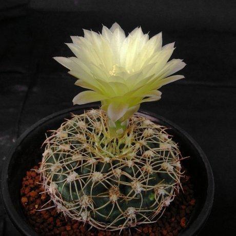 110410-Sany0187-leeanum v. nerelianum-Piltz seed 2486--Milena