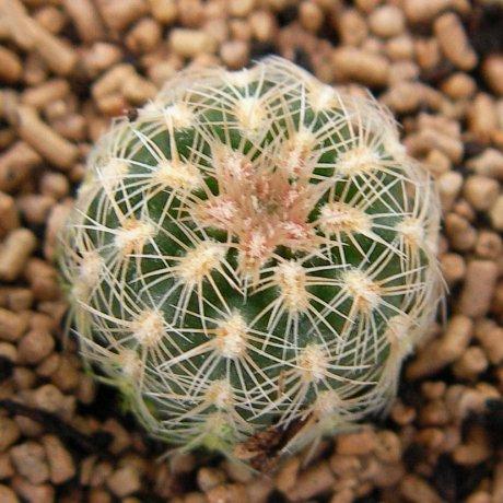 120420--Sany0073-bruchii ssp pawlovskyi--RH 2939A --Eden 1857