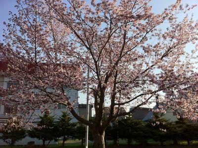110517_blogsakura2.jpg