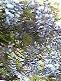 20080422 しんきん 藤棚