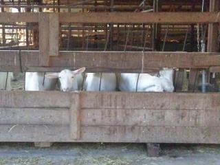 111020 ルーラルカプリ農場 食事中の山羊たち