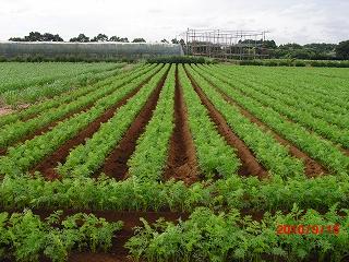 畝立て後の畑
