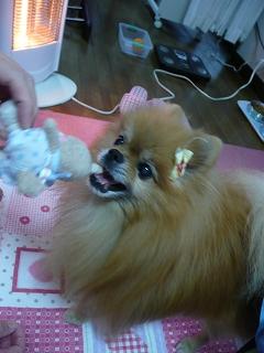 愛犬おもちゃ遊び1