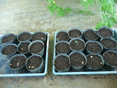 種蒔き4日後のポット苗