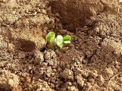 種蒔き3日後の直播き苗