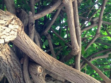 上にはバニアンツリー