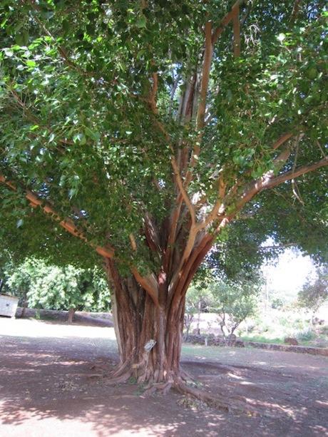 マカダミアンナッツの木