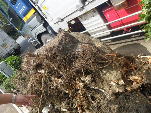 台風で倒れた街路樹の根の部分