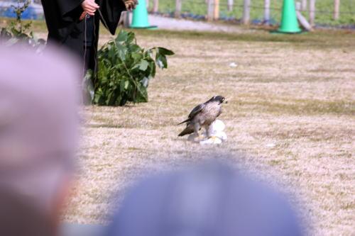 放鷹 獲物を押さえた鷹