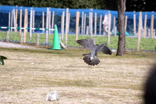 放鷹 ねらいをつける鷹
