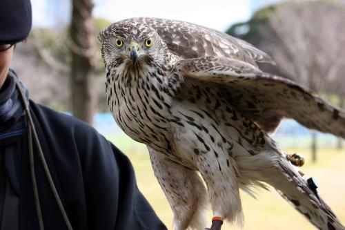 放鷹 鋭い目の鷹