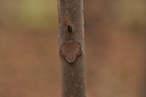 葉痕 サワグルミ