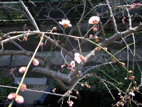 わが家の梅の蕾