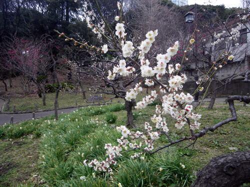 芝公園 銀世界 梅の花