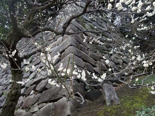 皇居東御苑の梅林坂の梅