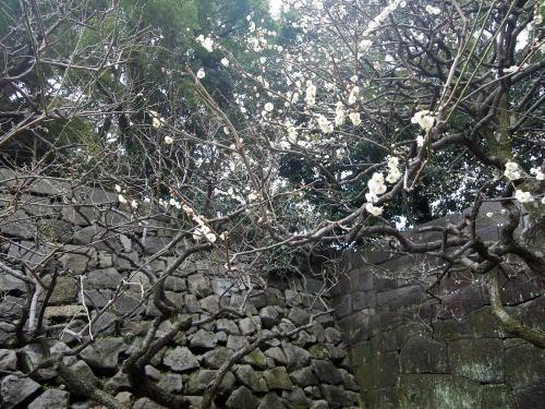 皇居東御苑の梅林坂の梅と石垣