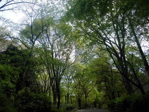 中央公園の新緑