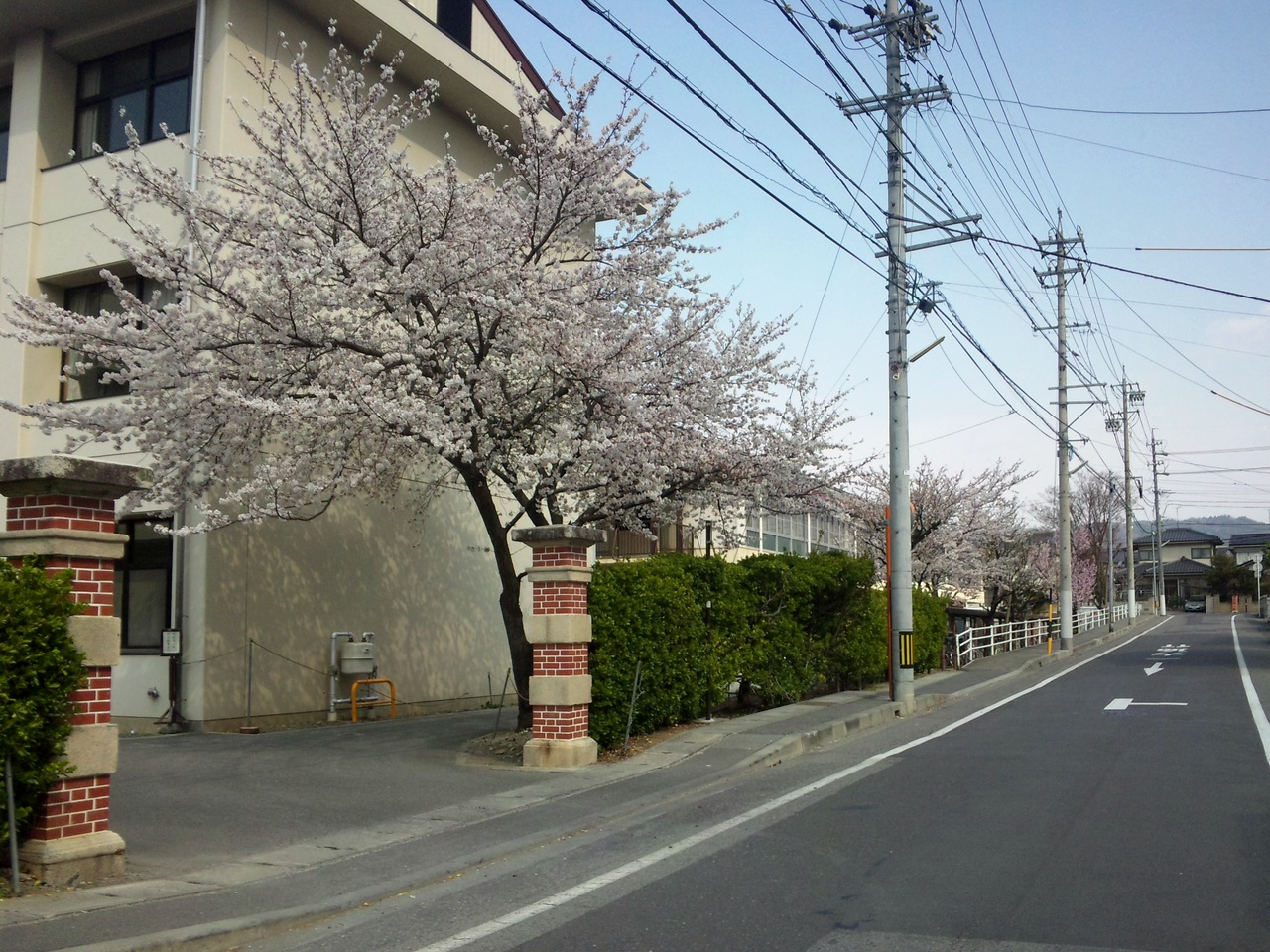 県立高校の桜
