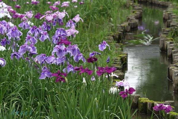 水元公園の花菖蒲(36145)