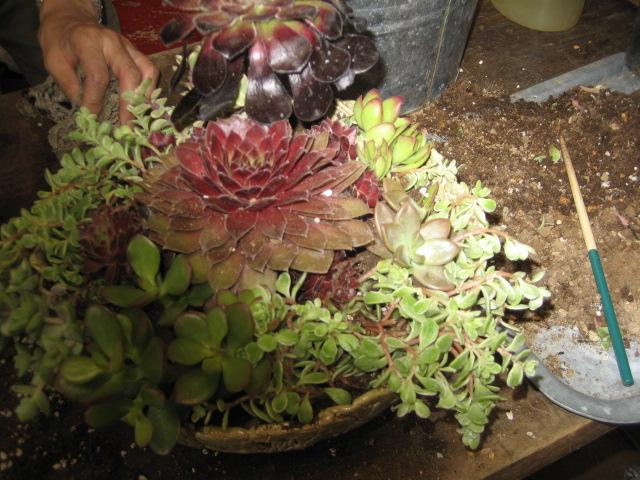 多肉植物 004