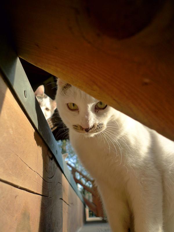 階段の手すりから覗いてるネコ