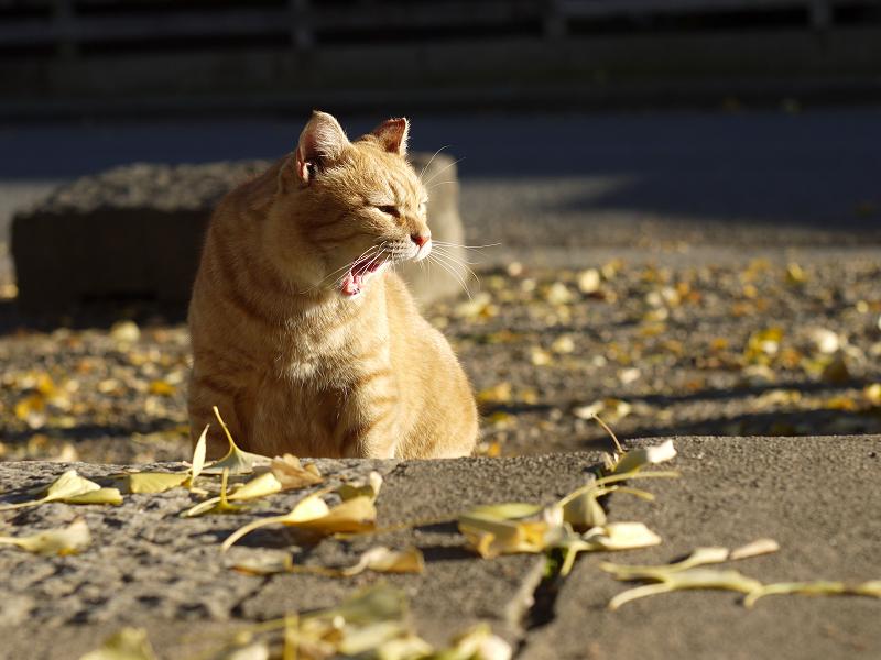 銀杏の落ち葉と欠伸するネコ
